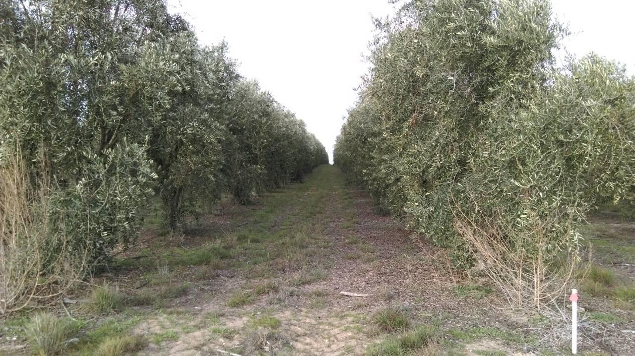 树生长的农地,其所生产的庄园级顶级冷压初榨橄榄油更获得澳洲当地的